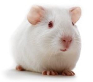 The Hartley breed pharmaceutical laboratory guinea pig.